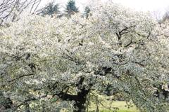 白い花の咲く一本の大きな桜の樹