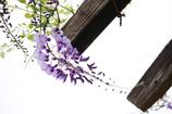 一房の藤の花