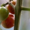 頑張った秋トマト、♪