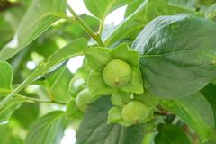 柿の実グリーン♪