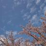 SIGMA SIGMA DP1sで撮影した植物(散り残った桜)の写真(画像)
