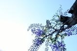 フジの花も咲き始める