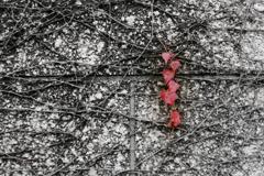 晩秋のivy 葉