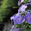 並ぶ石仏と紫陽花