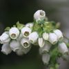 花びっしりのブルーベリー