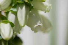 チャンドラー開花