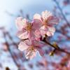 いつの間にか八分咲き 近所の桜
