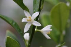 キンカン(ぷちまる)開花