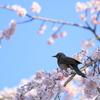 枝垂れ桜にヒヨ