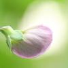 赤花エンドウ、明日の開花