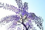 見上げる藤に午後の光