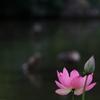 鴨のいる蓮池