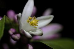 今日咲いたレモンの花を撮った夜