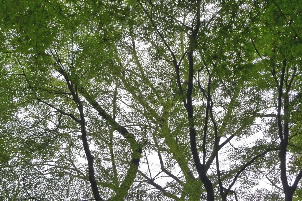 緑に透けるイロハカエデ