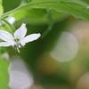 金木犀の下に甘唐辛子の花