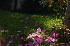 芝に山茶花の名残