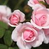 薔薇色の整列
