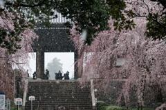 枝垂桜に春の雪