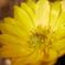 家の福寿草も開花♪