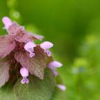 CANON Canon EOS 20Dで撮影した植物(初夏の踊り子)の写真(画像)