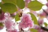 見上げた八重桜