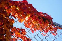 紅いアイビーとフェンス