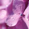 朝露紫陽花