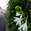 日常の風景 アリと白い花