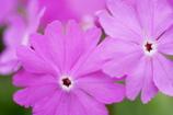 サクラソウの桜色