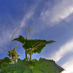 PANASONIC DMC-LX3で撮影した風景(キュウリ天を突く)の写真(画像)