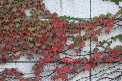染まり始めた秋のアイビー