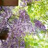 春の陽射しと藤の花