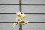 早くも水仙の花