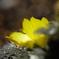 春色の福寿草と水滴のキラキラ