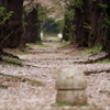 並木の路も桜色