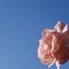 雨上がりを喜ぶバラの顔