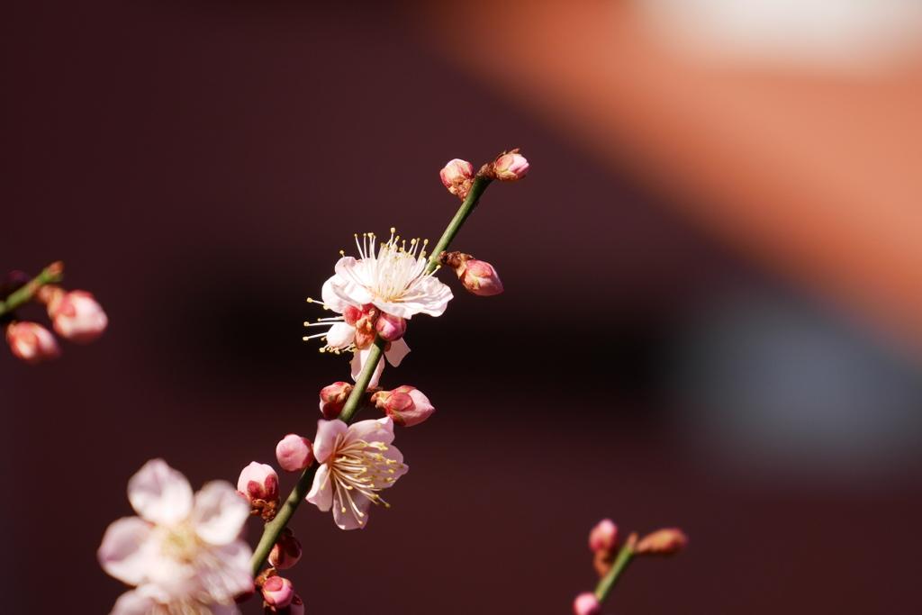 中央線が止まっても梅の花に癒される