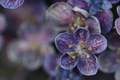 これも紫陽花?