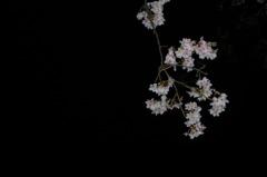 雨に濡れる夜桜