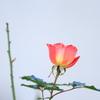 住宅街に咲くバラ