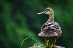 Wild Duck pt,2