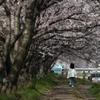 桜道をゆく