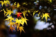 ひかり照らされる紅葉