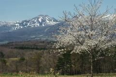 雪残る山と桜
