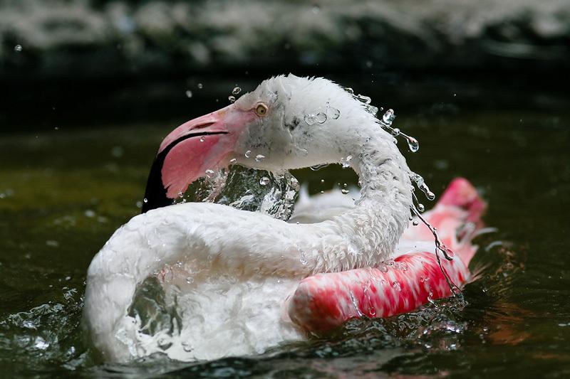 フラミンゴの水浴び。