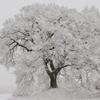 わに塚雪桜