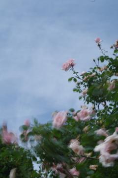 揺れるバラ