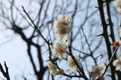 味真野苑の白梅