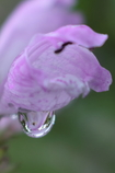 雫(花虎の尾の花)
