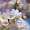 年刊「桜クローズアップ」